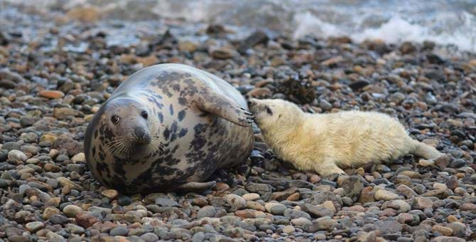 An adult grey seal and a pup