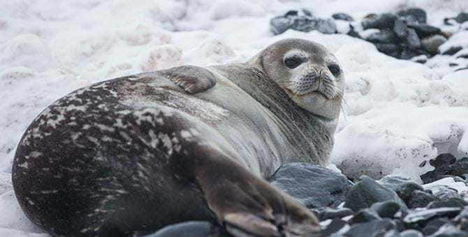 Grey seal lying in the snow
