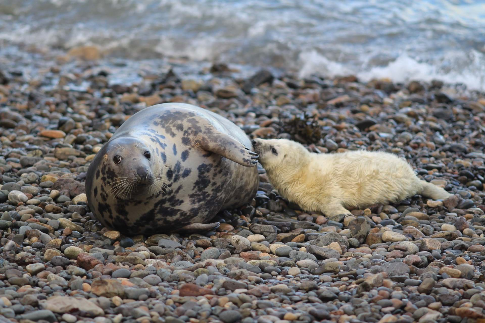 A picture of a grey seal and a pup